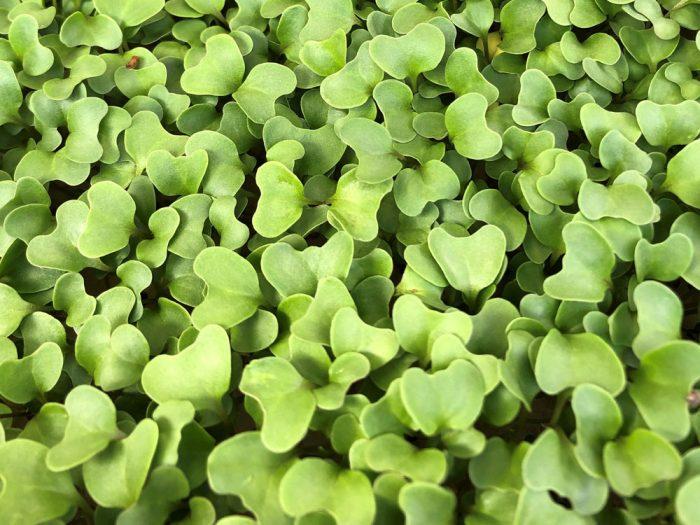 Hydroponic Broccoli Microgreens