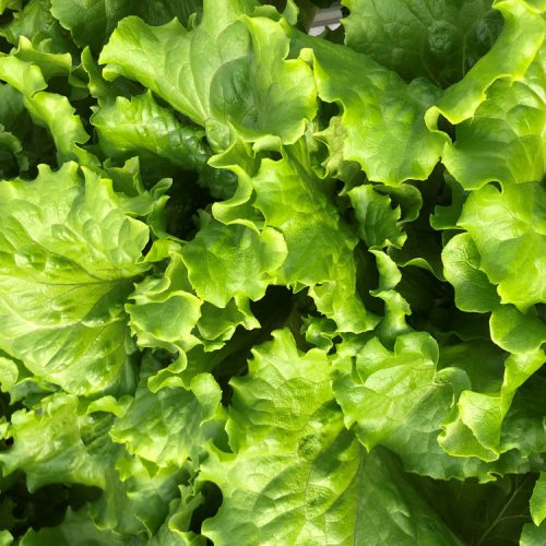 Hydroponic Tropicana Lettuce