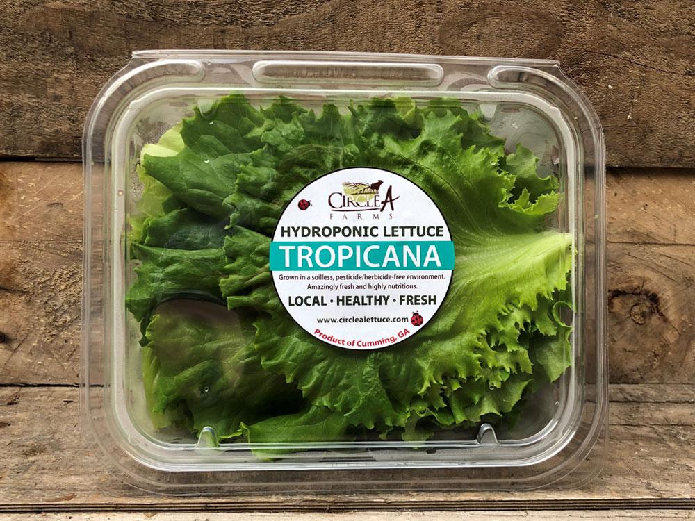 Hydroponic Tropicana Lettuce Crisper