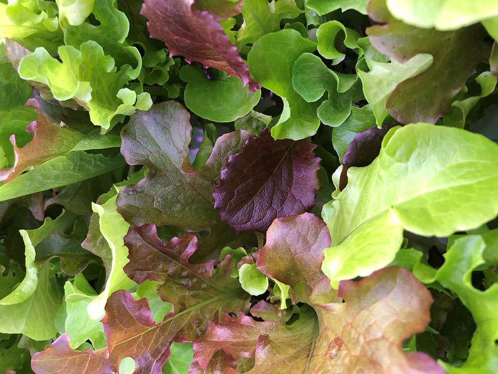 Hydroponic Spring Mix Lettuce